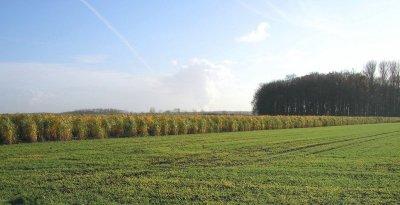 Zum Herbst reift der im Frühjahr gepflanzte Bestand schlecht ab