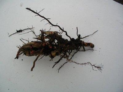 Miscanthus-Rhizom mit Knospen