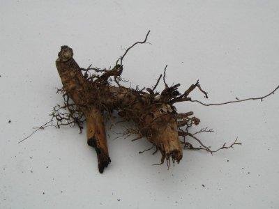 Altes Miscanthus-Rhizom