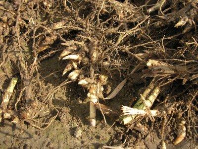 Miscanthus Rhizome / Wurzelwerk
